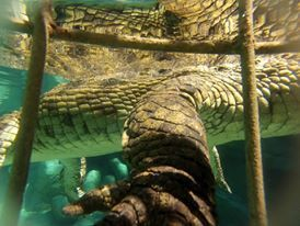 Thrill-seeking underwater dive with a Crocodile
