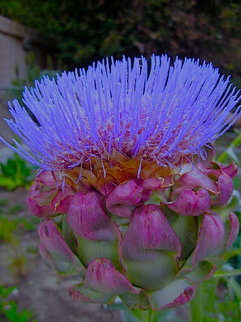 An unpicked artichoke develops into this awesome flower!