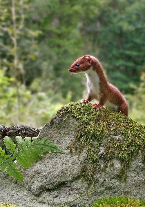 """Weasel: """"On Alert Duty!"""""""