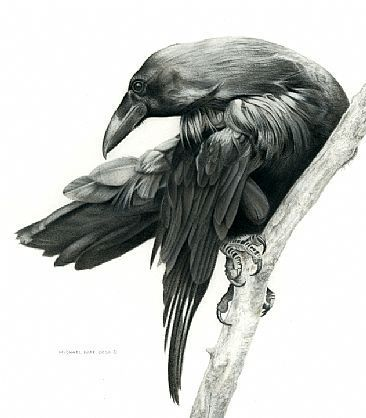 The Common Raven (Corvus corax), also known as the northern raven, is a large all-black passerine bird. Description from…