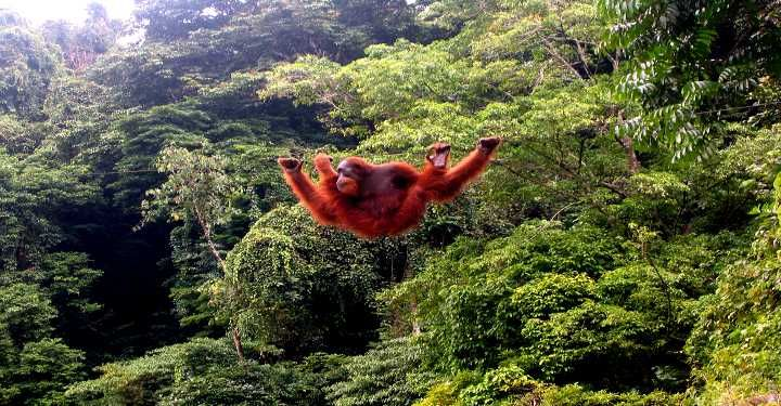Catch a glimpse of the majestic orang utans in Sabah. Unique to Borneo & found no where else! You can book your Borneo tours here : http://www.kinabaluholidayhome.com/kota-kinabalu-sabah-borneo-tour-packages-and-activities.html