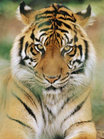 A Portrait of a Sumatran Tiger Photographic Print by Norbert Rosing at Art.com
