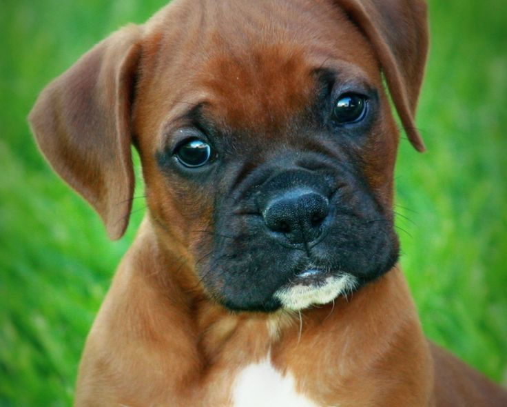 Baby Boxer Puppies