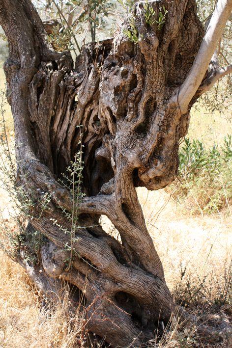 Olive tree   Lesvos - Greece  - 2013