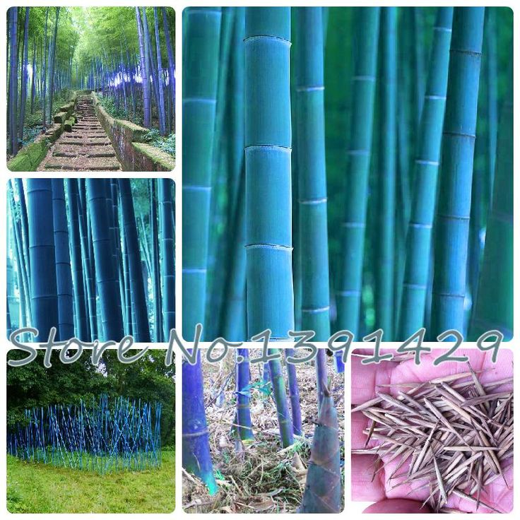 20pcs/bag blue moso bamboo seeds.bonsai seeds,sent gift