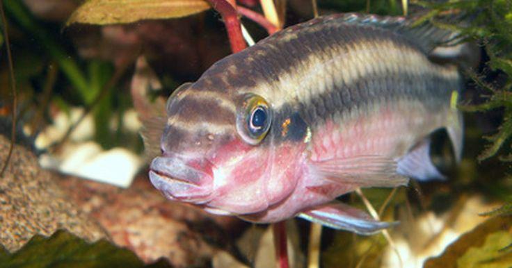 Como matar algas sem matar os peixes. Se você tiver um aquário de água doce ou de água salgada, as algas podem ser um problema. Ainda que algumas algas no aquário possam ser benéficas para o seu peixe, uma grande quantidade pode fazer com que a água se torne poluída, turvando-a. Ela também pode agarrar-se ao vidro, fazendo tudo parecer sujo, e tornando difícil ver o seu peixe. As ...