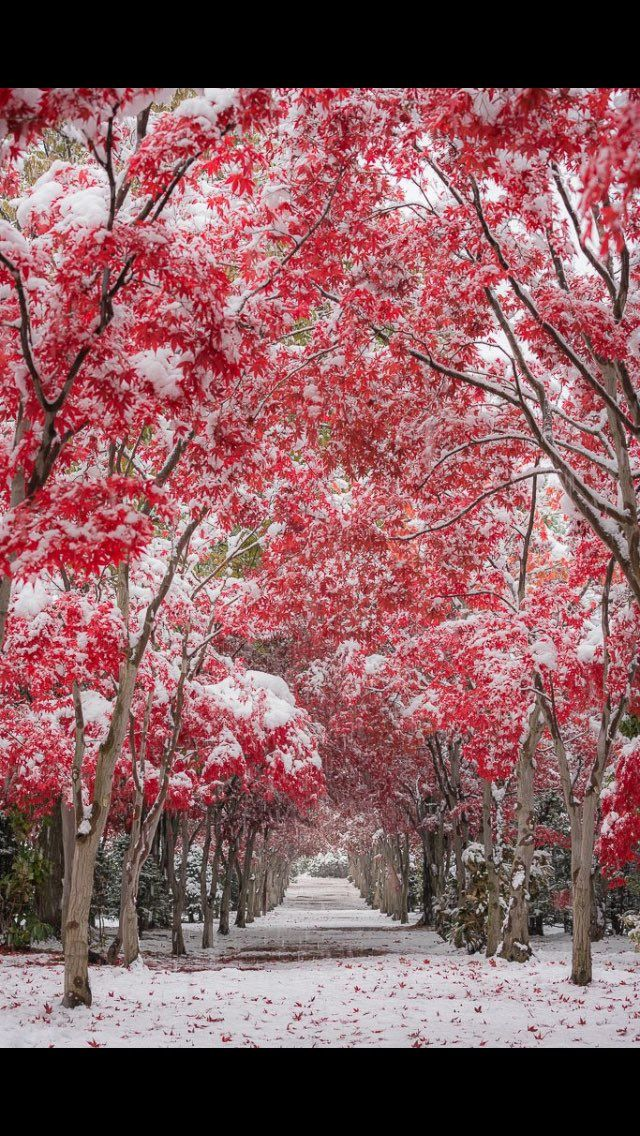 """""""""""dress up"""" 雪化粧した赤いトンネルを見ることができるのは数年に一度とのこと(例年雪が積もる頃には営業終了しています) 前日しんしんと降る雪を見ながら、こんな風になっていたら良いなと思っていた光景が広がっていました!  #紅葉 #北海道 #札幌"""""""