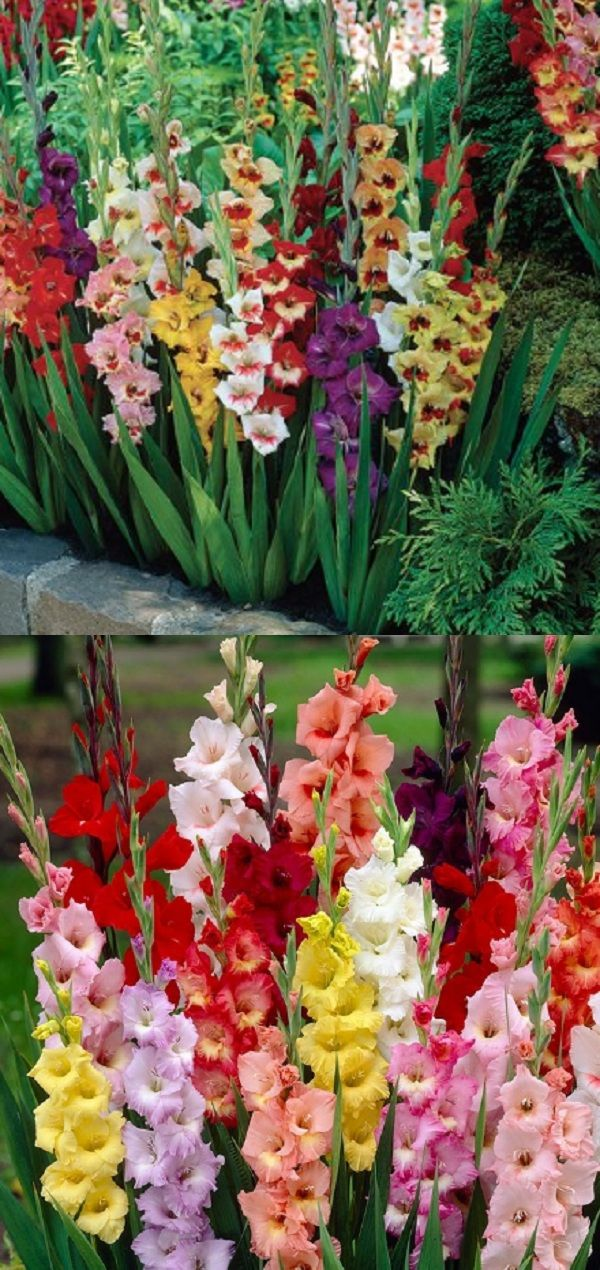 Gladiolus Care Gladiolus Flower Garden Flowers