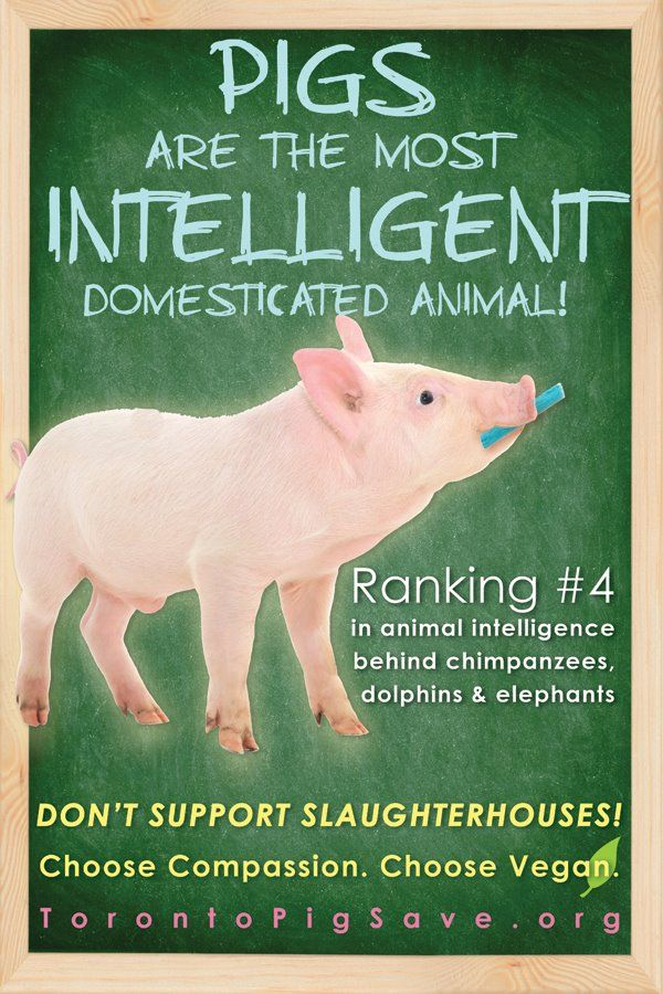 Pigs are the most intelligent domesticated animals! Ranking #4 in animal intelligence behind chimpanzees, dolphins and elephants. Don't support slaughterhouses! Chose compassion. Choose vegan.