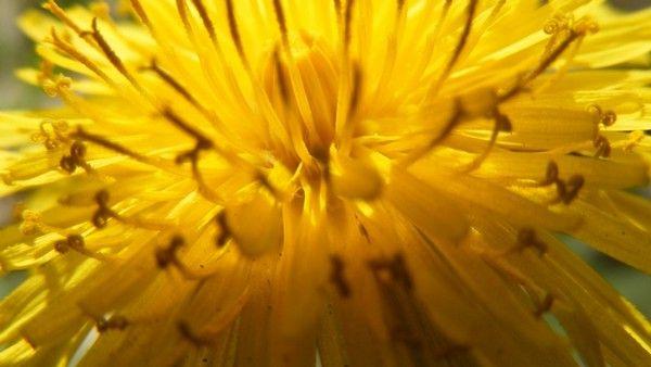Pampeliška.- Pampeliška očistí tělo od jedů. Extrakt máme v Aloe vera koncentrátu - http://www.essens-club.cz/aloe-vera-koncentrat-s-vytazky-z-bylin-100ml.html