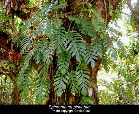 Epipremnum pinnatum – A Great Jungle Climber