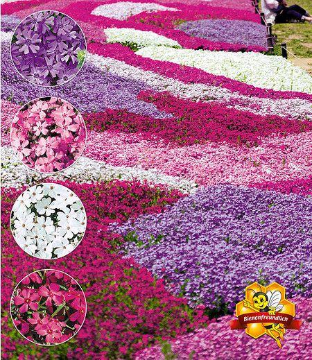 Dieser wunderschöne Bodendecker-Mix sticht mit seinen 4 Farben sofort ins Auge! Die dichten Teppiche sind von April bis Juni mit unzähligen Blüten übersät und werden zum Blickfang im Garten! Wie ein Meer in bunten Farben erstreckt sich der winterharte Phlox-Mix Flowers of the Sea und breitet sich schnell polsterartig aus (ca. 3-4 Pflanzen pro m2).