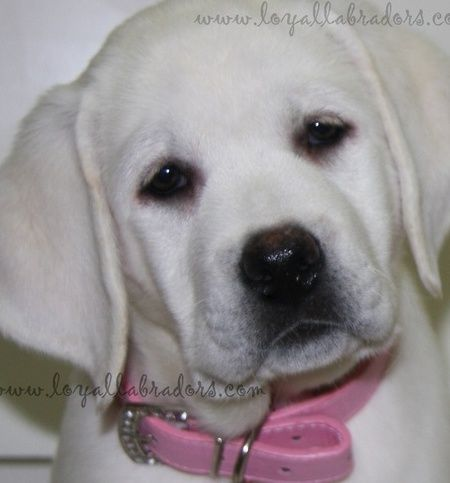 White English Labrador Puppies For Sale & available Lab puppy