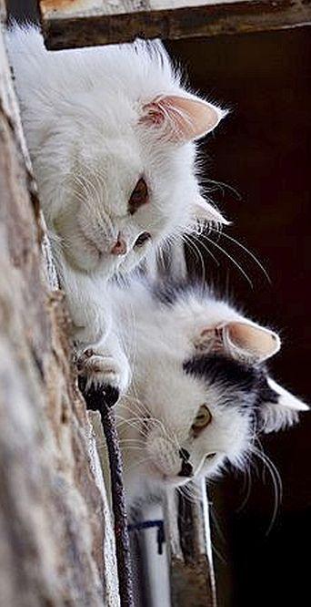 best view   #by  Just Around The Corner #cat cats white pet pets animal animals beautiful nature