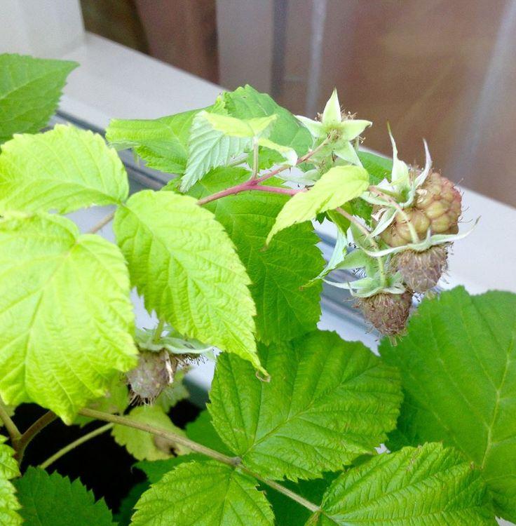 Mijn frambozenstruik heeft dit jaar vier (4!) vruchten.