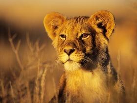 Lion Cub, Kgalagadi Transfrontier Park, Kalahari, South Africa