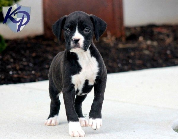 Lewie – Boxer Puppy www.keystonepuppies.com  #keystonepuppies  #boxerpuppy