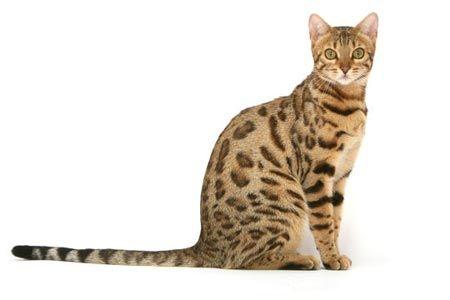 ¿Quieres un mini leopardo en casa? Descubre cómo es el gato Bengalí. http://blog.theyellowpet.es/quiero-leopardo-bengali/