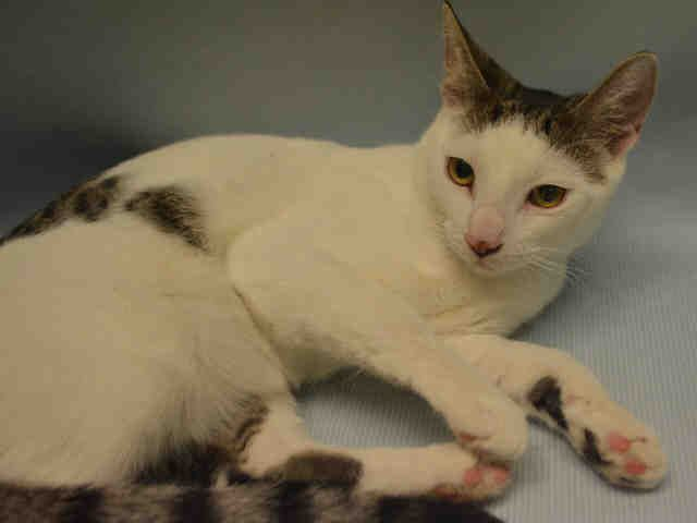 PEBBLES - A1096986 - - Manhattan  Please Share:*** TO BE DESTROYED 11/21/16 *** -  Click for info & Current Status: http://nyccats.urgentpodr.org/pebbles-a1096986/