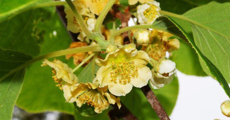 Diferença em plantas de kiwi masculino e feminino. Kiwis pertencem ao gênero Actinidia. Anteriormente conhecidos como gooseberry chinês, suas arborizadas videiras perenes ou trepadeiras se originaram na China. De acordo com a Universidade do Estado de Ohio, a polinização exige uma planta masculina para cada oito plantas femininas.