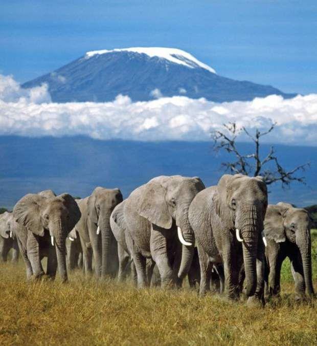 Le Kilimandjaro, en TanzanieCélèbre pour son superbe pic Uhuru recouvert de neige, le Kilimandjaro est non seulement l'un des plus hauts sommets du monde (5 891 mètres), mais aussi l'un des plus beaux. Trônant majestueusement au cœur des plaines de Tanzanie, le Kilimandjaro est le point culminant du continent africain. Ce massif est un ensemble de trois volcans éteints qui font partie de la vallée du grand rift, immense ensemble géologique de l'est de l'Afrique. Si le Kilimandjaro est réputé…
