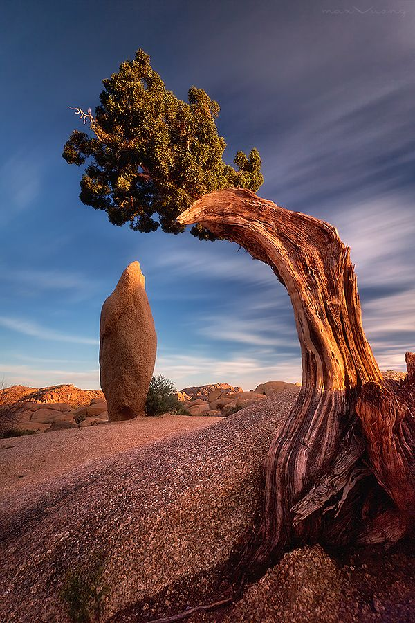 Yucca brevifolia is a plant species belonging to the genus Yucca. It is tree-like in habit, which is reflected in its common names: Joshua tree, yucca palm, tree yucca, and palm tree yucca.  It is native to California, Arizona, Utah and Nevada,  photo by Max Vuong.