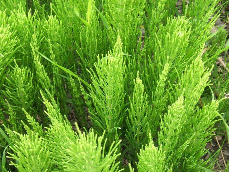 Photos de la Prêle des champs (Equisetum arvense) - Jardinage