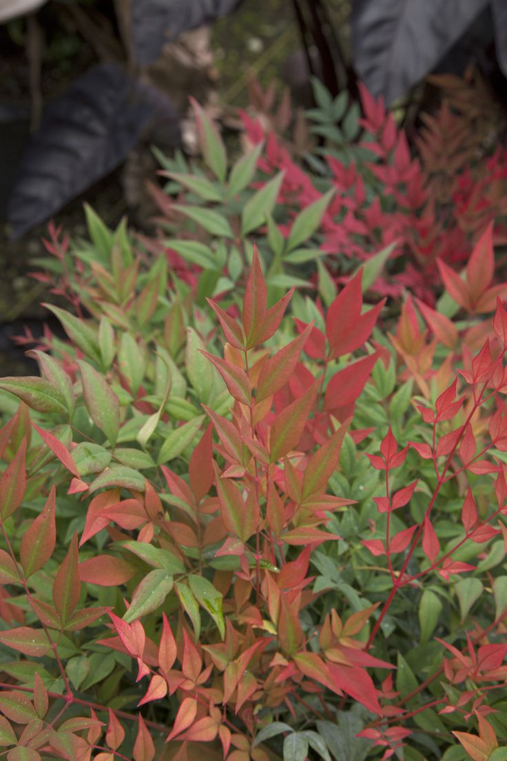 31 best NANDINA OBSESSION images on Pinterest
