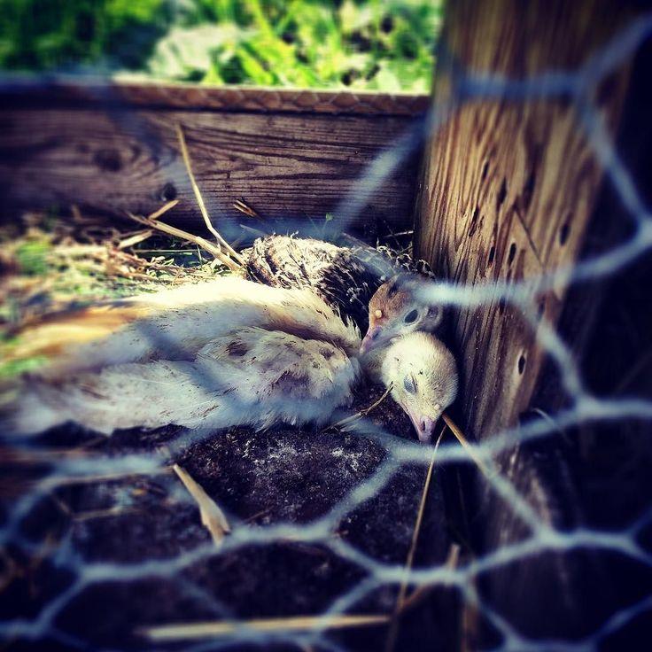 Eftersom fru Gul fick handla mysk ankor tyckte August att han också skulle få välja djur och väljer .... kalkoner. Så här är två kalkon kycklingar som somnat. Hans alternativ val var kackerlackor så det här känns lite bättre. #butikgul #polannet #kalkoner #gammaltosledet #loppisskåne #utflyktskåne #skåneloppis #retro #retrobutik #antik #återbruk #ekologiskt #återvinning #second hand #vinylskivor #mittskåne #hörby #kölleröd #loppisfynd #ekokafe #heminredning #inredningsdetaljer #homestyling…