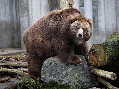 The Kodiak Bear  (I added this to pets because I think that's funny - and hey...its MY board)