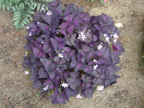 Purple Leafed Oxalis dark purple plant | Hilltop Farm - Perennials