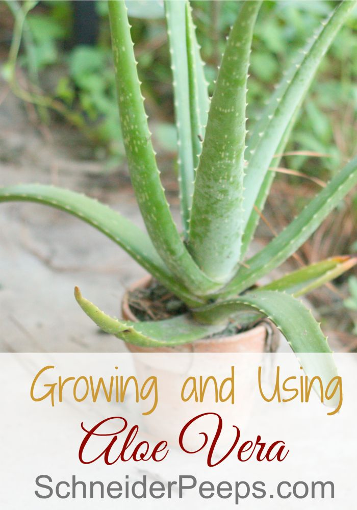 Every house should have an aloe vera plant. Not only is it good for burns but it's also good for other skin conditions.