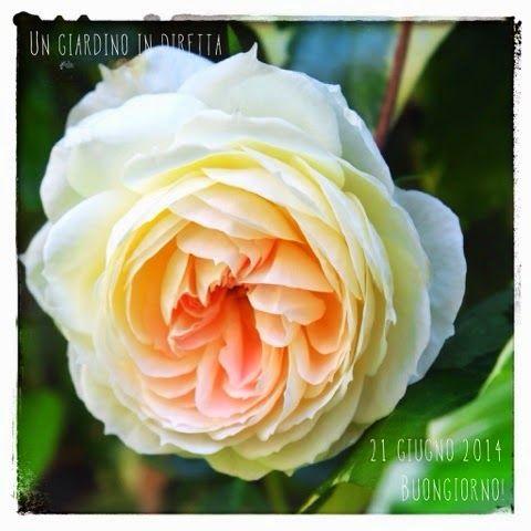 in diretta dal giardino: rosa Mon Jardin et Ma Maison  buona Estate giardinieri! #giardino #giardinoindiretta #rose #fiori