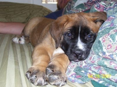 st. bermastiff :)Bermastiff Puppies, Perfect Dogs, Design Dogs, Dogs 3, Dogs Breeds, 800 Saint, Hybrid Dogs, Dog Breeds, Adorable Animal