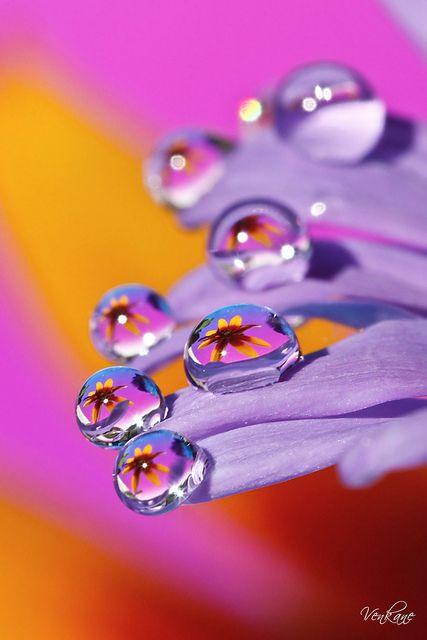 dew droplets on purple flower