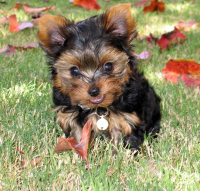 Image detail for -Nautiic- Two Teacup Yorkie Puppies For Adoption ?