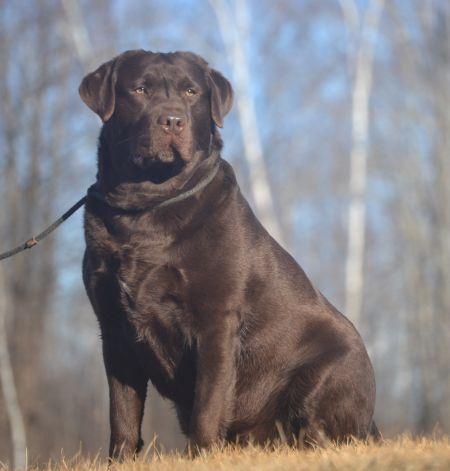 Noble's Page English Chocolate Labrador Retrievers