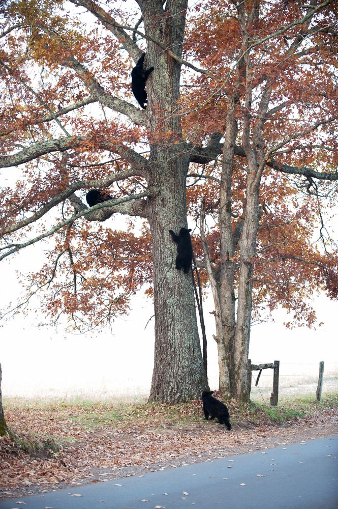 Cades Cove is the best place to see bears!