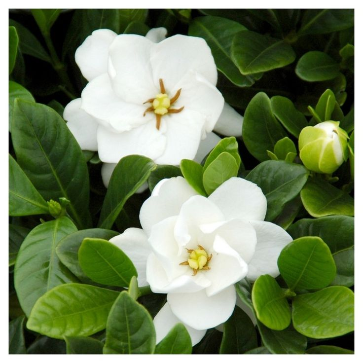 Cottage Hill Gardenia 'Buttons', 3 - Quart Trade Gallon, 1 Piece, Evergreen Plant, U.S.D.A. Hardiness Zones 8 - 10