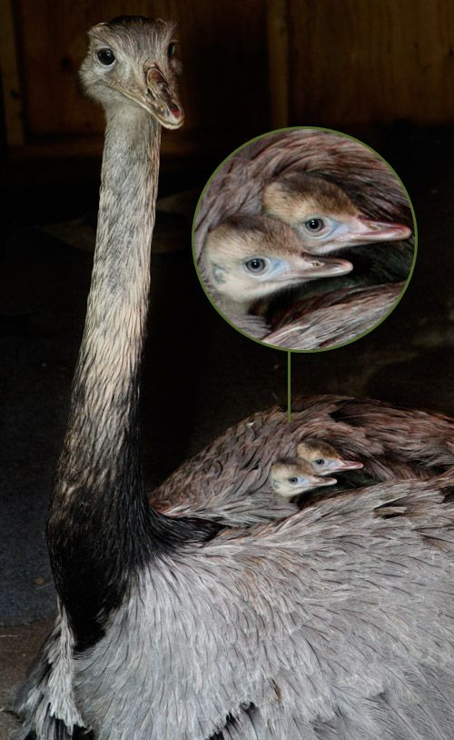 The Rhea is a large flightless bird native to South America and is part of the family of birds known as Ratites, which includes the Ostrich, Emu, Kiwi and Cassowary. Rheas are often mistaken for Ostriches because they share similar characteristics and grow to an impressive size. The male bird hatches and raises the young. After mating, the male builds a nest and incubates the eggs. Once hatched, he continues to rear the chicks, guarding them from any potential threat for the first six…