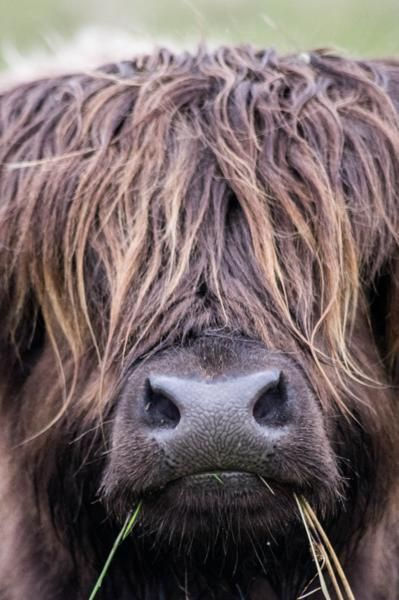 Highland Cow, Isle of Harris.