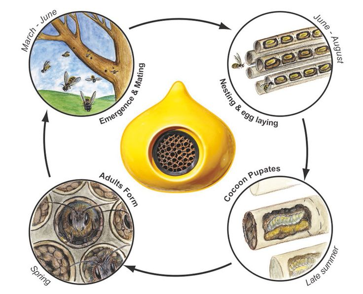 diagram showing the life-cycle of a solitary bee