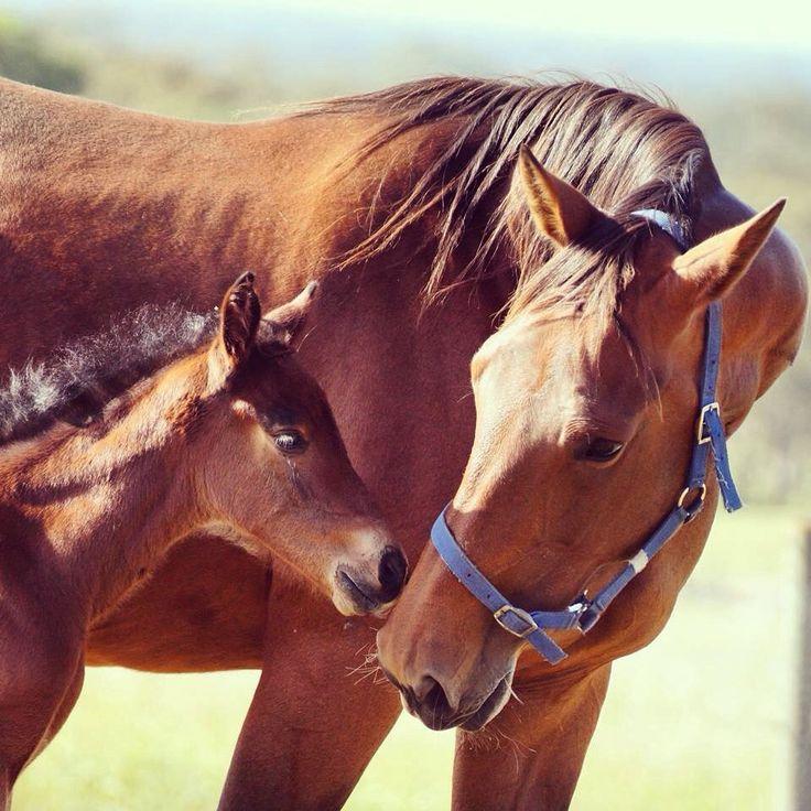 Western Terror - Listen To The Rhythm  Standardbred Broodmare Foal Harness Racing Vicbred By Nikkita Ross
