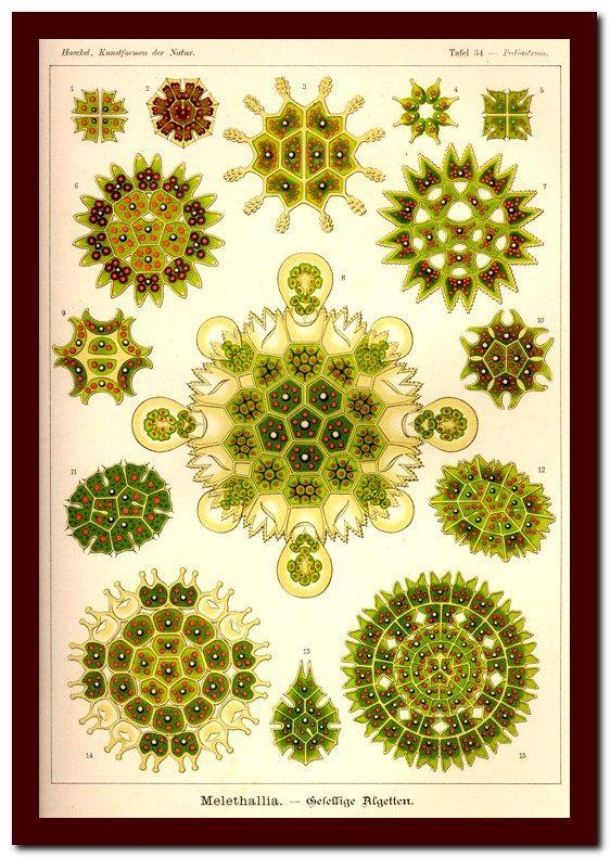 Print Vintage Natural History  Art Print: Ernst Haeckel  Scientific Illustration… – A. B. Smartypants !