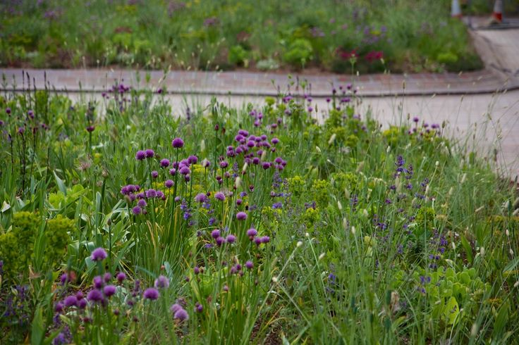 Allium schoenoprasum coming into flower In May | Barbican, Nigel Dunnett