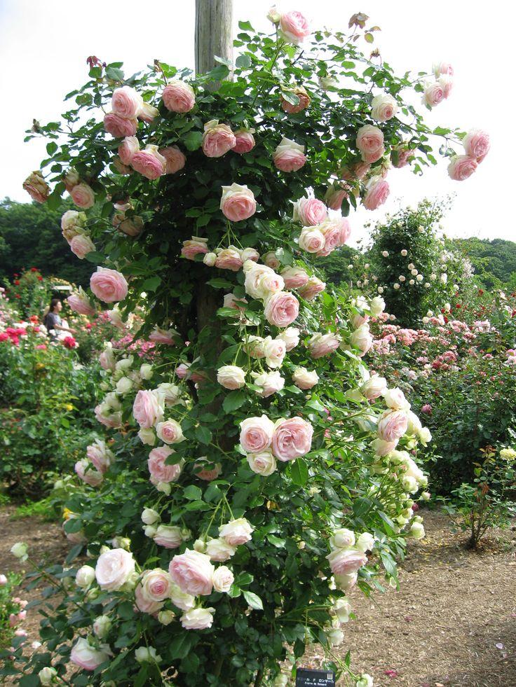 """Rosa Meilland """"Pierre de Ronsard"""". Splendida! Garden"""