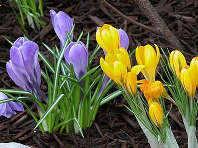 Blooming bulbs mean spring is here! Click in for six great spring flowers from About.com that are easy to plant and grow and require very little effort. Daffodils, hyacinth and tulips are just a few! These colorful flowers will last for weeks