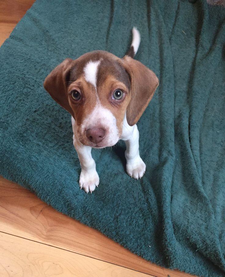 Mini beagle, toy beagle, pocket beagle www.pocketbeagleny.com