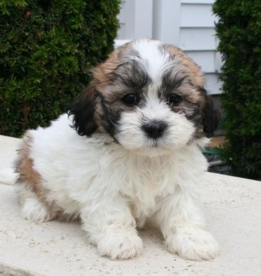 17 Best Ideas About Shih Tzu Poodle On Pinterest