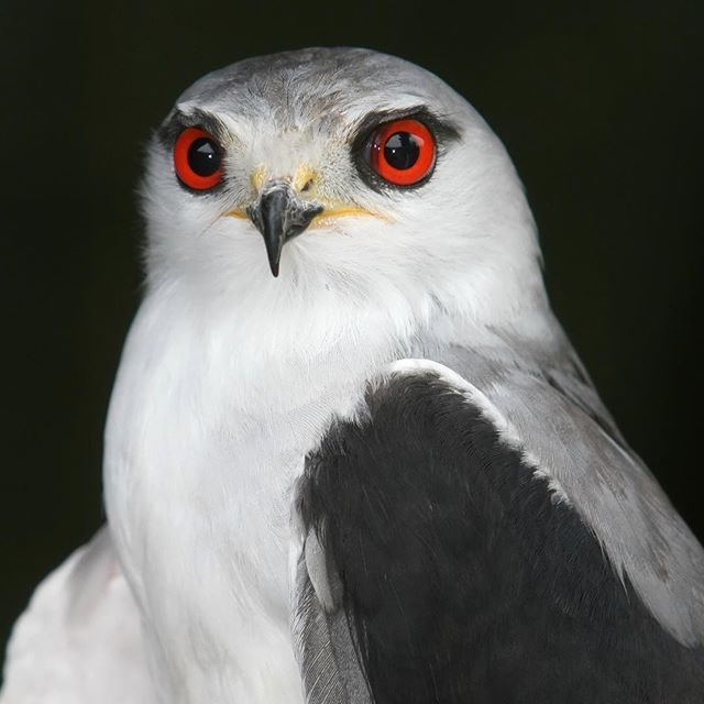The Black-shouldered Kite is a small, graceful raptor and the most voracious eater in the raptor family. It needs to consume up to 25% of its body mass every day - that is the equivalent of about two mice. This means each bird probably kills around 700 mouse-sized animals a year.  Black-shouldered Kite.Now, Roberts VII estimates there are about 100 000 Black-shouldered Kites in southern Africa, so if we assume each bird takes two mice a day, that adds up to about 70 million mice being…